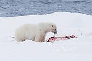 A male polar bear feeds on the carcass of a Bearded seal.