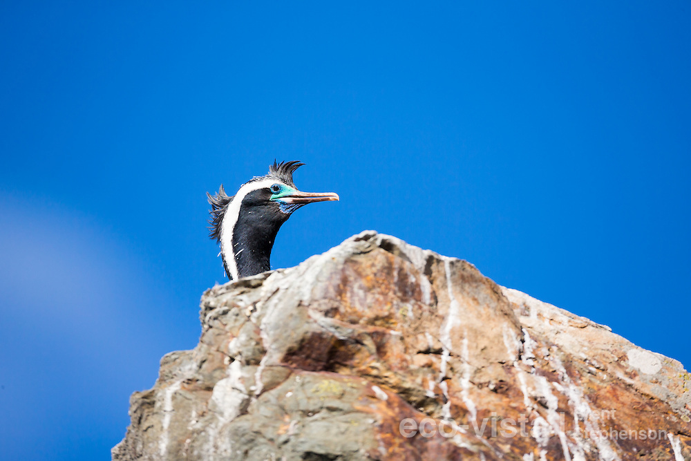 A spotted shag (Stictocarbo punctatus) in breeding plumage peers over the rock it is standing on, against a clear blue sky. Ohau Point, Canterbury, New Zealand. September.