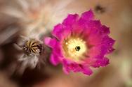 Beavertail Cactus, Opuntia basilaris