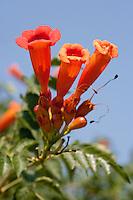 Trumpet Vine (Campsis radicans), Travis County, Texas
