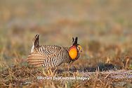 00842-03615 Greater Prairie-Chicken (Tympanuchus cupido) male booming/displaying on lek Prairie Ridge State Natural Area Jasper Co, IL