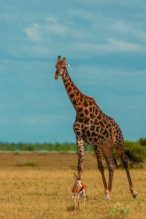 Giraffe and springbok, Nxai Pan National Park, Botswana.