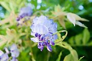 Elaborate purple flower Photographed in Saint Bertrand de Comminges, Pyrenees, France