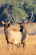 Bull elk with tongue extended during autumn rut.