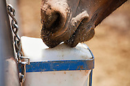 The salt lick is a means to provide essential nutrients.It is readily available around the corral for thosemules who crave it, usually after a long hot day onthe trail.