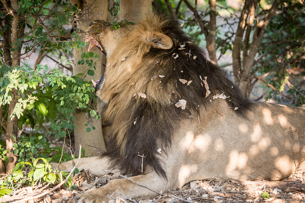 A large male Southern African lion (Panthera leo melanochaita) lying under the shade of some trees yawns, showing his massive teeth. Chobe National Park - Botswana