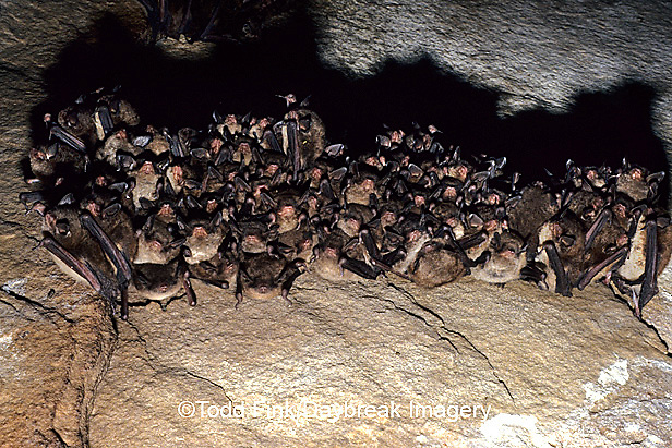 01842-001.02 (TF) Indiana bat (Myotis sodalis) Jackson Co.   IL