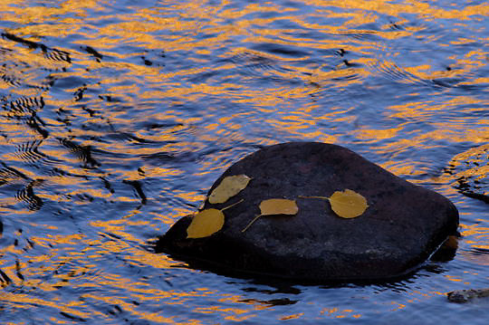 Reflection of yellow from Aspen tree leaves in stream during fall. Rock in stream with Aspen leaves. Colorado. Fall.