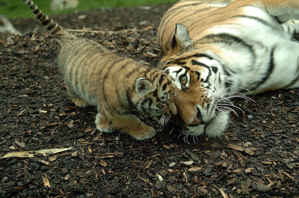 Following the arrival of a pair of rare Amur tigers at the Highland Wildlife Park in Kingussie, near Aviemore, Yuri and Sachi gave birth to three tiger cubs. ..Born on 11th May 2009 the tiger cubs, yet to be sexed or named are settling into their home. ..Picture shows the tiger cubs mother Sasha with one of the cubs