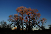Cottonwood trees catch the last light of day in Empire Gulch in the Las Cienegas Conservation Area in the grasslands of southern Arizona, USA, north of Sonoita.