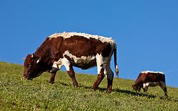 """THEMENBILD - RIND, zwei Pinzgauer Rinder auf einer Bergwiese. Das Pinzgauer Rind ist ein auf Milch und Fleisch gezüchtetes Zweinutzungsrind und zählt zu den europäischen Höhenviehrassen. Die Stammheimat liegt rund um den Großglockner, wobei sich der Name dieser Rinderrasse von der Region ,,Pinzgau"""" ableitet. .Durch die Haltung im Berggebiet sowie aufgrund der extensiven Haltungsformen hat sich ein Rind mit besonderer Anpassungsfähigkeit an schwierige Standorte entwickelt, EXPA Pictures © 2011, PhotoCredit: EXPA/ J. Feichter"""