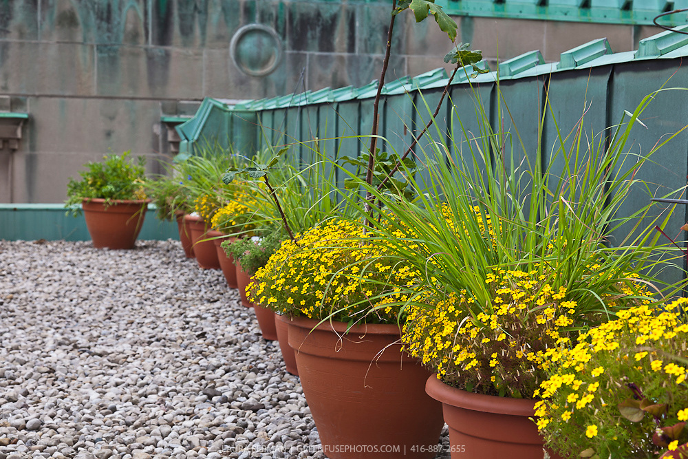 Edible flower Signet marigold Lemon Gem (Tagetes tenuifolia 'Lemon Gem') growing in flower pots in the rooftop herb garden on the Royal York Hotel, Toronto, canada.