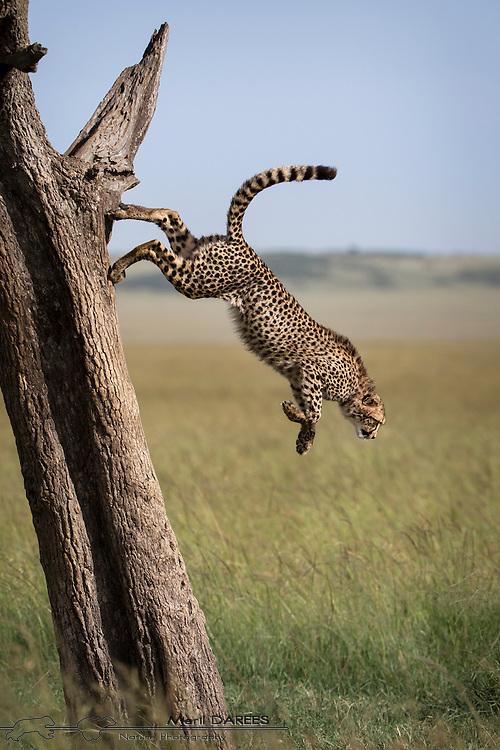 Young cheetah jumping down a tree. Masai Mara, Kenya.