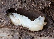 Bess beetle pupa; Odontotaeniius disjunctus; in rotten log; PA, Philadelphia, Schuylkill Center
