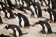 Die erwachsenen Eselspinguine (Pygoscelis papua) einer Brutkolonie schützen ihre Küken an stürmischen Tagen vor dem umherfliegenden Sand. Saunders Island, Südatlantik, Falklandinseln | Adult Gentoo Penguins (Pygoscelis papua) provide shelter for their chicks when stormy winds whirl up the sand in the rookery.