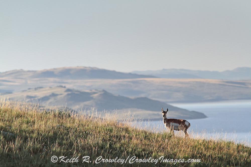 Pronghorn (Antelope) in Habitat Pronghorns on terrain overlooking a reservoir