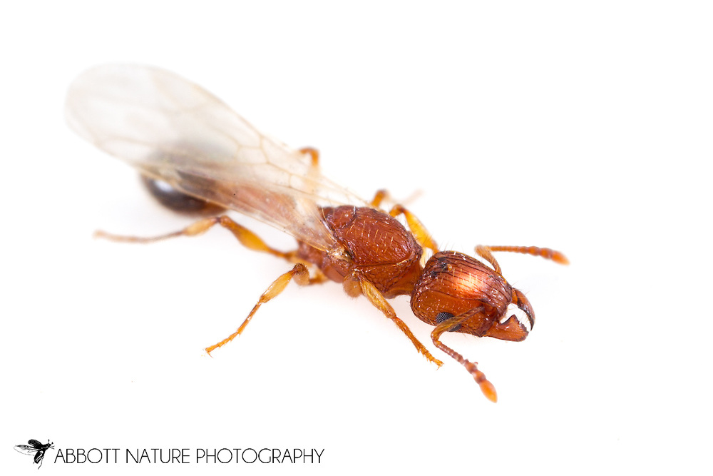 Ant (Tetramorium bicarinatum, queen)<br /> TEXAS: Williamson Co.<br /> Cedar Park<br /> 25-Aug-2014<br /> J.C. Abbott &amp; K.K. Abbott