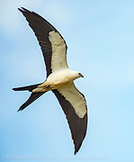 A Swallow Tail Kite, Elanoides forficatus, glides in the thermals over Dinner Island Wildlife Management Area in Hendry County, Florida, United States. This highly migratory raptor will travel as far away as Brazil and return to southeast region of the US every year.
