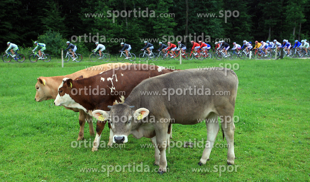 Cows looking the riders in last 4th stage of the 15th Tour de Slovenie from Celje to Novo mesto (157 km), on June 14,2008, Slovenia. (Photo by Vid Ponikvar / Sportal Images)/ Sportida)
