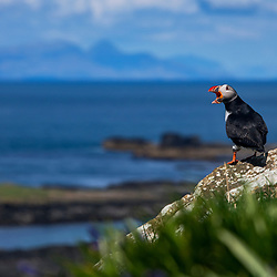 Fradinho (Fratercula arctica) fotografado na Escócia, na Europa. Registro feito em 2019.<br /> ⠀<br /> ⠀<br /> <br /> <br /> <br /> <br /> <br /> <br /> ENGLISH: Atlantic puffin photographed in Scotland, in Europe. Picture made in 2019.