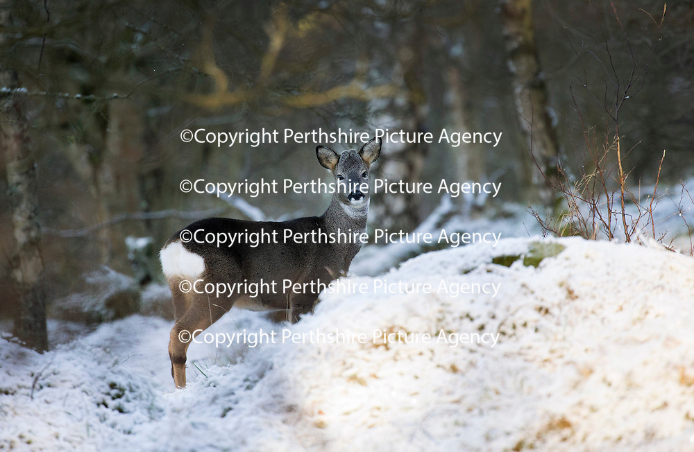 Snow and Ice, Perthshire...28.12.14<br /> A Roe deer looks up from foraging for food in the snow covered woodland of Kinnoull Hill in Perth as the freezing conditions bite into another day..<br /> Picture by Graeme Hart.<br /> Copyright Perthshire Picture Agency<br /> Tel: 01738 623350  Mobile: 07990 594431
