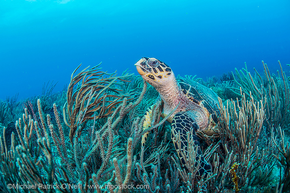 A Hawksbill Sea Turtle, Eretmochelys imbricata, rests among soft corals on a coral reef offshore Palm Beach, Florida, United States. Image available as a premium quality aluminum print ready to hang.
