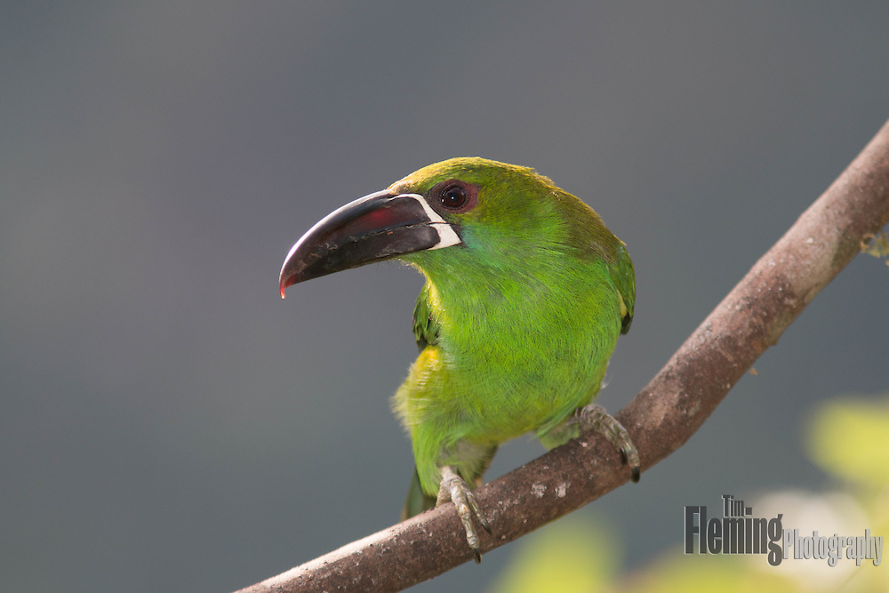 Crimson-rumped toucanet in the Tandayapa Valley, Ecuador