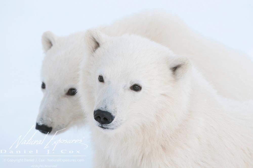 Two polar bear cubs near Churchill, Manitoba, Canada.