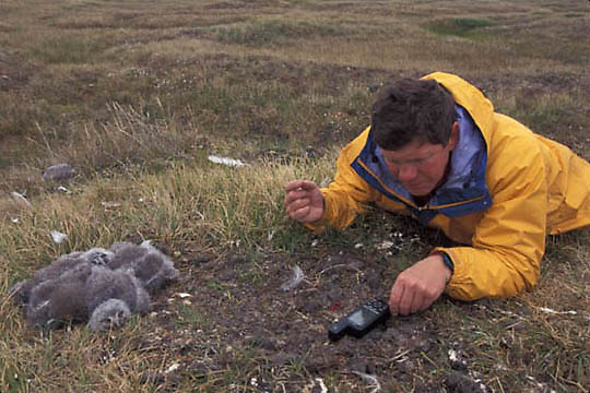 Snowy Owl, (Nyctea scandiac) Denver Holt takes GPS reading on owl nest. Barrow, Alaska.