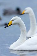 Pair of Whooper Swan, Cygnus cygnus, at Welney Wetland Centre, Norfolk, UK
