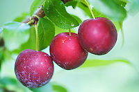 Fruits of Cherry plum (Prunus cerasifera) growing in the alluvial forest along the river  Allier. Pont-du-Chateau, Auvergne, France.