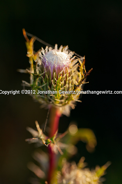 A dew-covered thistle flower in the Florida Everglades. WATERMARKS WILL NOT APPEAR ON PRINTS OR LICENSED IMAGES.