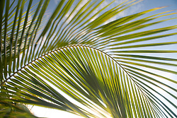 United States, Puerto Rico, Vieques.  Palm fronds in motion.