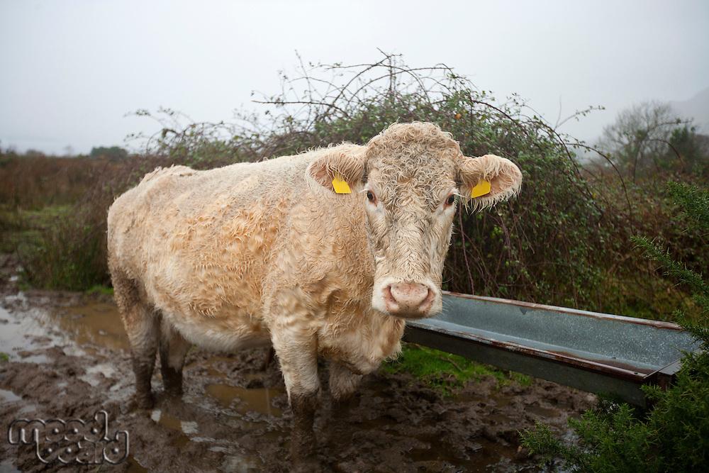 Cow in muddy field