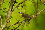 Yellow-breasted Chat, Icteria virens; Indiana