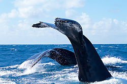 ~ the humpback raises it&rsquo;s huge tail high into the air when diving deep - here we see two, diving in unison -  'double tails!' - an exciting photo to get &hellip;<br />