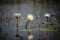 Waterlillies in the floodplains of the Okavango Delta, Botswana.