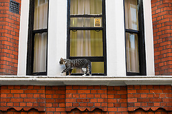 © Licensed to London News Pictures. 01/08/2018. LONDON, UK. Julian Assange's cat walks on a window sill outside the Equadorean Embassy in Knightsbridge.  The UK and Ecuador are holding ongoing talks over the fate of Wikileaks founder Julian, who has been in exile in the Ecuadorean Embassy since 2012.  He faces being arrested by UK police if he leaves the embassy for breaching bail conditions.  Photo credit: Stephen Chung/LNP
