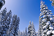 Fresh powder on pines, Ansel Adams Wilderness, Sierra Nevada Mountains, California USA