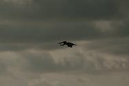 Brown pelican in flight, silhouetted against dark rain clouds. Brown pelican, Pelecanus occidentalis.