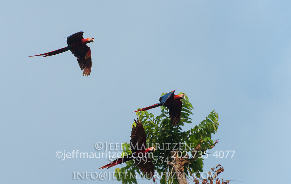 3 Scarlet macaws (Ara Macao) in flight along the coast of Golfo Dulce, Costa Rica.