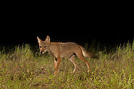 Coyote (Canis latrans) <br /> TEXAS: Travis Co.<br /> Brackenridge Field Laboratory; Austin<br /> 6-Sept-2010<br /> J.C. Abbott
