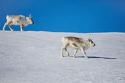 A pair of Svalbard reindeer (Rangifer tarandus platyrhynchus) walking on the snow against a bright blue sky ,Svalbard, Norway