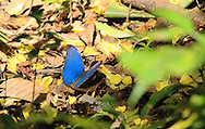 Morpho butterfly (Morpho peleides) feeding on garlic tree petals. Corcovado National Park, Osa,Costa Rica. <br />