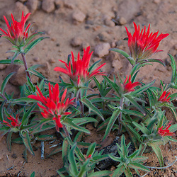 Common Paintbrush (Castilleja chromosa), Arches National Park, Utah, US