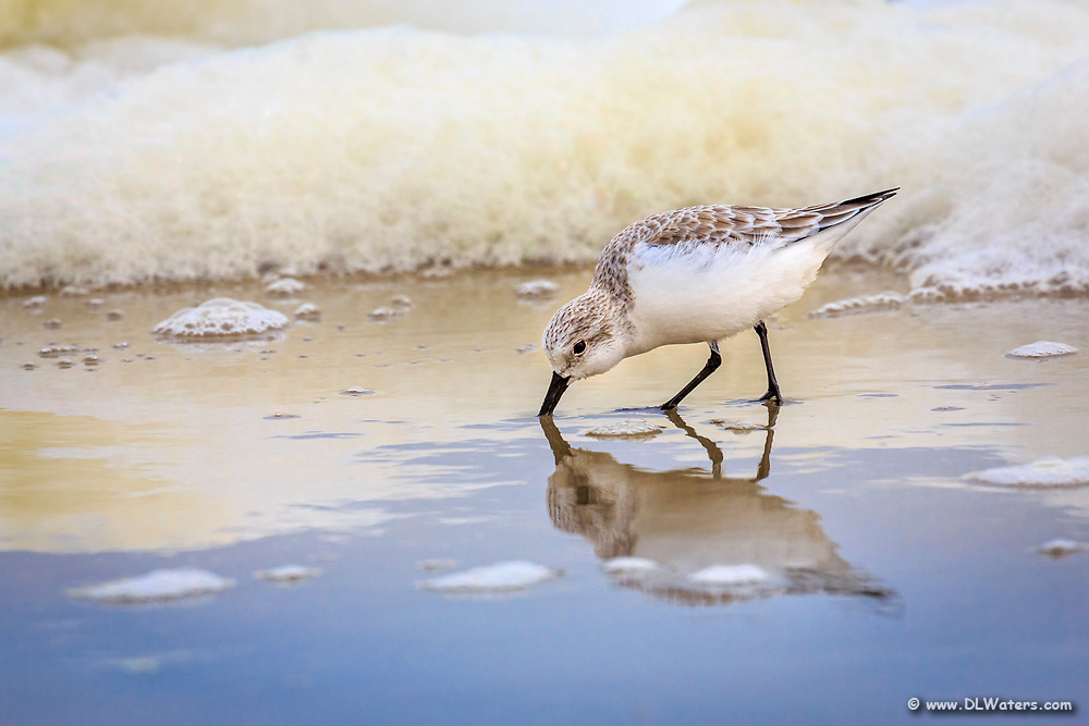 Feeding sandpiper and seafoam on the Outer Banks in Corolla NC.