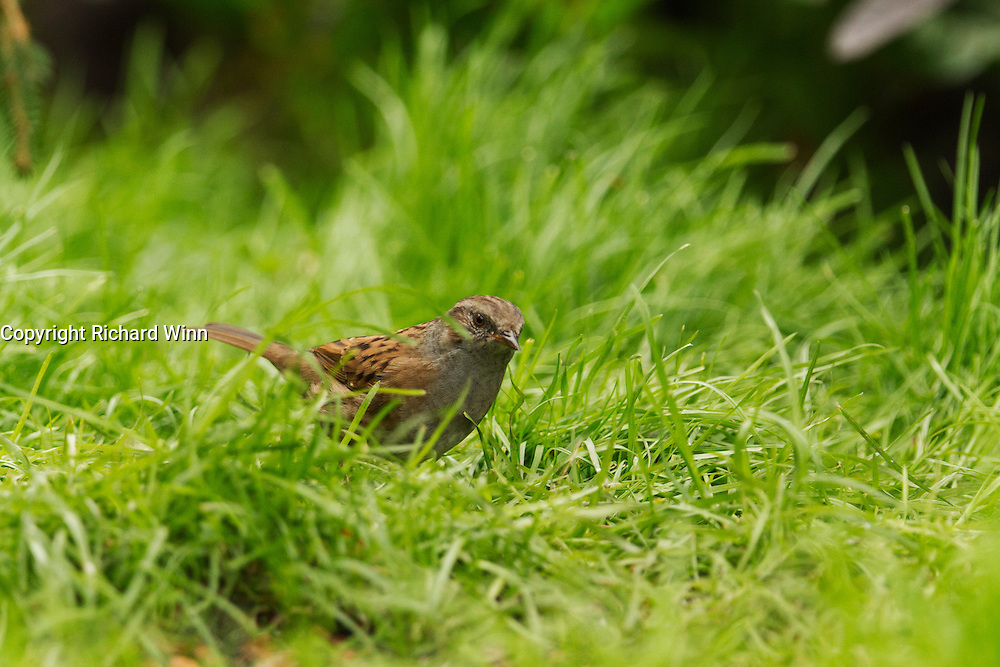 Dunnock searching for food on the grass underneath some feeders.