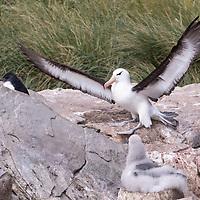 Thalassarche melanophris, West Point Island, Falkland, February 2019