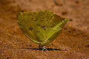 Sao Jose do Rio Preto_SP, Brasil...Programa Biota da Unesp, na foto uma borboleta...The Biota program of Unesp, in this photo a butterfly...Foto: JOAO MARCOS ROSA / NITRO