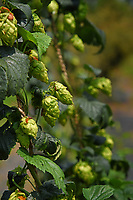 Hops growing at the Mountain Horticultural Research and Extension Center in Henderson County.